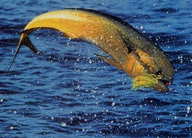 La Pesca del Dorado por José Manuel López Pinto / Actualizado al 27/07/12 Jumping_dolphin_4X5.5